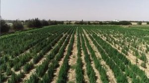 مزرعة البانجو2