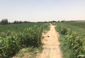 مزرعة بانجو