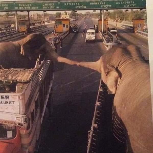 فيلان شقيقان تم بيعهما في الهند