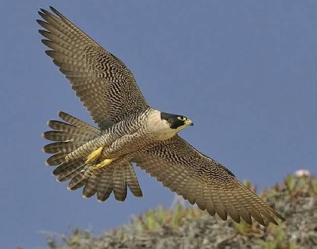 طائر الشاهين