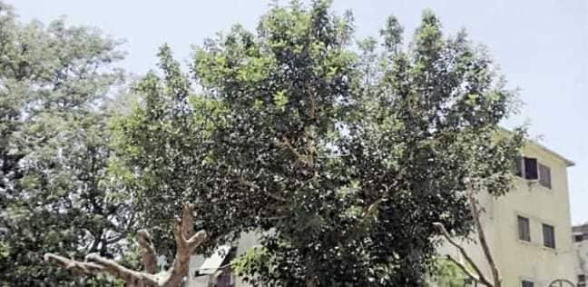 شجرة مريم